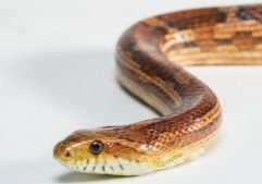 Photo of a corn snake