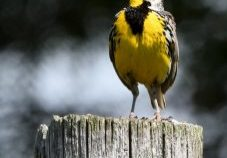 Eastern meadowlark by U.S. Fish and Wildlife Service - Midwest Region is marked with CC PDM 1.0