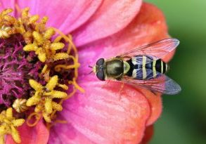 Photo of a hover fly on a zinnia
