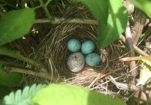 Photo of chipping sparrow and cowbird egg