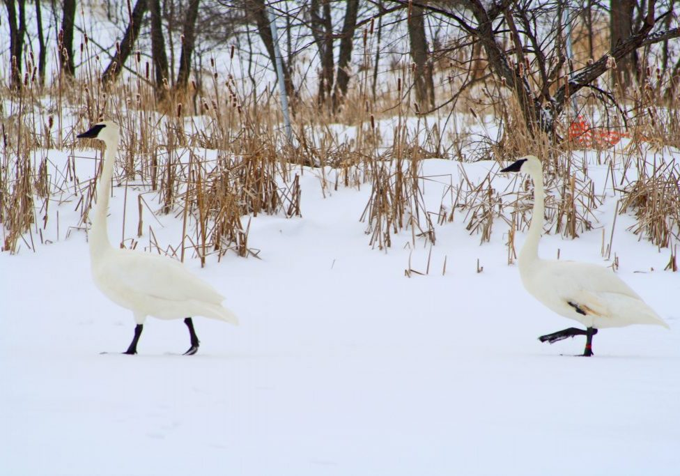 two trumpeter swans in the snow