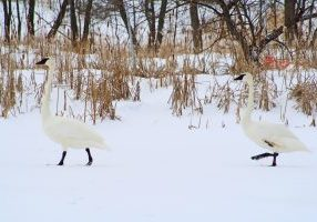 Photo of two trumpeter swans in the snow