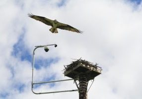 Photo of an osprey flying over its nest