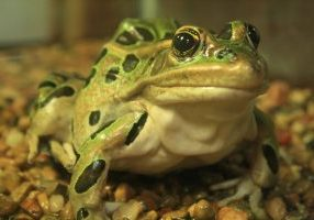 Photo of a leopard frog