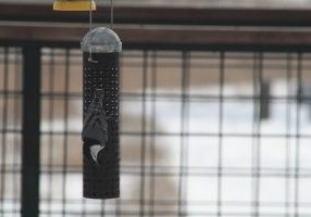 Photo of a nuthatch at a nut feeder