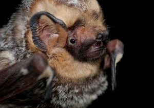 Photo of a hoary bat