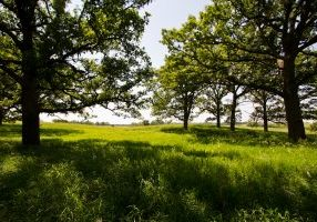Photo of bur oak trees