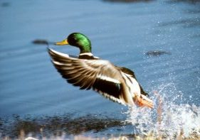 Photo of mallard duck taking off
