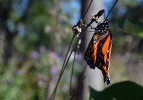 Photo of monarch with crumpled wings