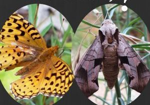 Graphic of butterfly and moth