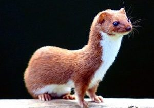 Photo of a least weasel