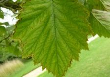 Photo of a hawthorn leaf
