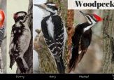 Graphic with photos of woodpeckers