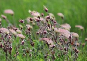 Photo of prairie smoke