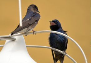 Photo of a male and female purple martin