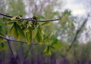Photo of maple seeds
