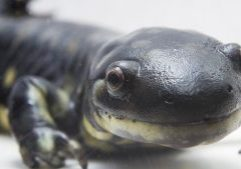 Photo of a tiger salamander