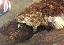 Photo of Great Plains toad