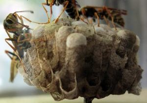 Photo of paper wasps building a nest