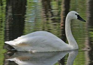 Photo of a tundra swan