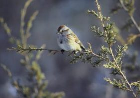 Photo of an american tree sparrow