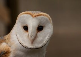 Photo of a barn owl's face