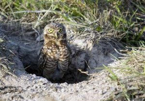burrowing owl by a burrow
