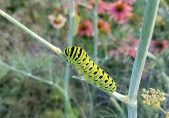Photo of a black swallowtail caterpillar