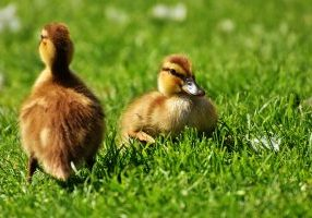 Photo of ducklings in the grass