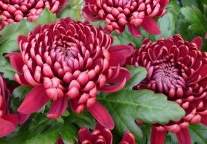 Photo of a chrysanthemum