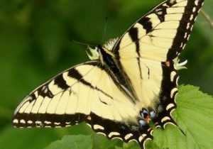 Photo of an eastern swallowtail
