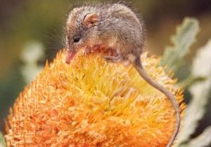 Photo of a honey possum on a flower