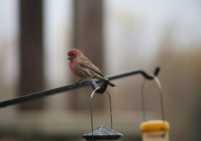 House Finch at the Nature Center.