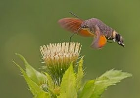 Photo of a hummingbird moth