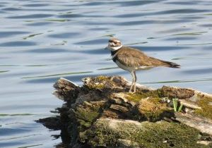 Photo of killdeer by water