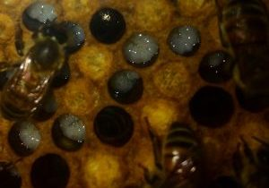 Photo of larvae in honeycomb