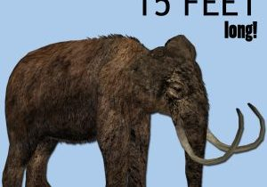 Graphic that says mammoth tusks were about 15 feet long