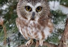 saw-whet owl in a tree