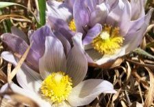 Photo of pasques flowers