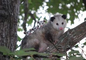 Opossum with babies on her back