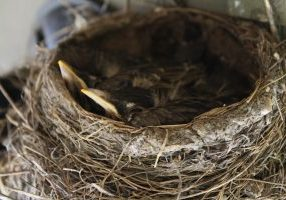robins in a nest
