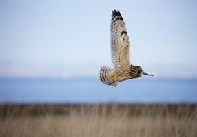 Photo of flying short-eared owl