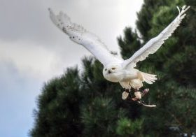Photo of a snowy owl flying