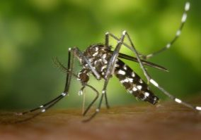 Photo of a tiger mosquito