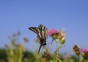Photo of zebra swallowtail
